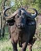 Portrait of a Cape buffalo-2, Ngala, South Africa