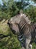 Close-up of zebra hanging on to the ear of a rival during fight-2, Ngala, South Africa