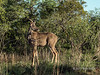 Male kudu, about 2 yrs old, in the bush, Ngala, South Africa
