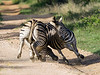 Zebras-fighting-each-other,-Ngala,-South-Africa<br /> <br /> We were watching a large group of zebra when two males started having a battle royal that went on for several minutes before a 'winner' was decided.  More pics to come