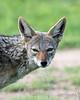 Portrait of a black-backed jackal, Ngala, South Africa