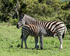 Nursing zebra colt, Ngala, South Africa<br /> <br /> Zebra foals have a brownish coat that they lose about the time they are weaned.  This colt is starting to lose hers.