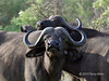 Cape buffalo with attitude, Ngala, South Africa