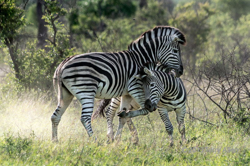 Battling zebras-3, Ngala, South Africa