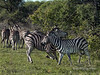 Battling zebras-13, Ngala South Africa<br /> <br /> Note the females in the backgrouond turning their backs on the stallions and their dominance fight, and ignoring them.