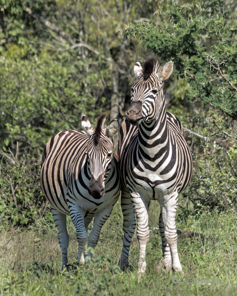 Zebra stallion and pregnant mare, Ngala, South Africa