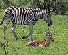 Hey, watch out, we're resting here!<br /> <br /> At the largest sizes, check out the look the tick bird is giving the zebra, and the expression on the impala's face.<br /> <br /> Zebra, impala and tick bird, Ngala, South Africa