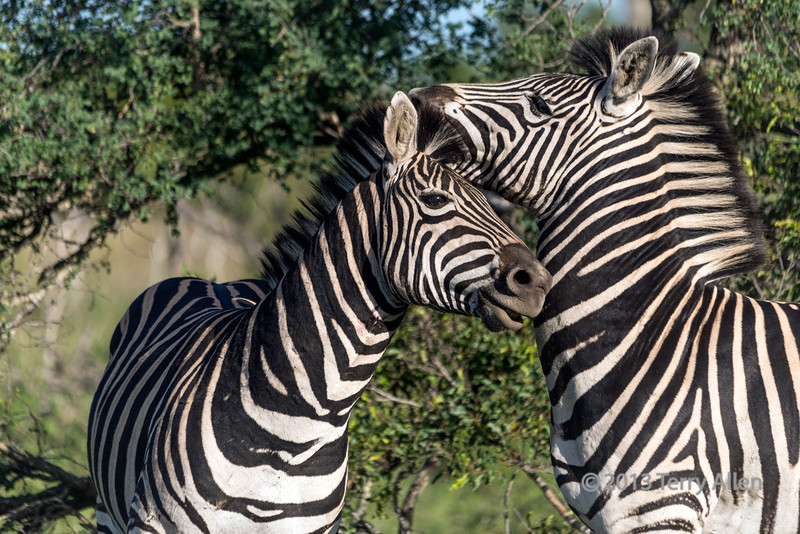Zebra grabs a rival by the ear during fight, Ngala, South Africa