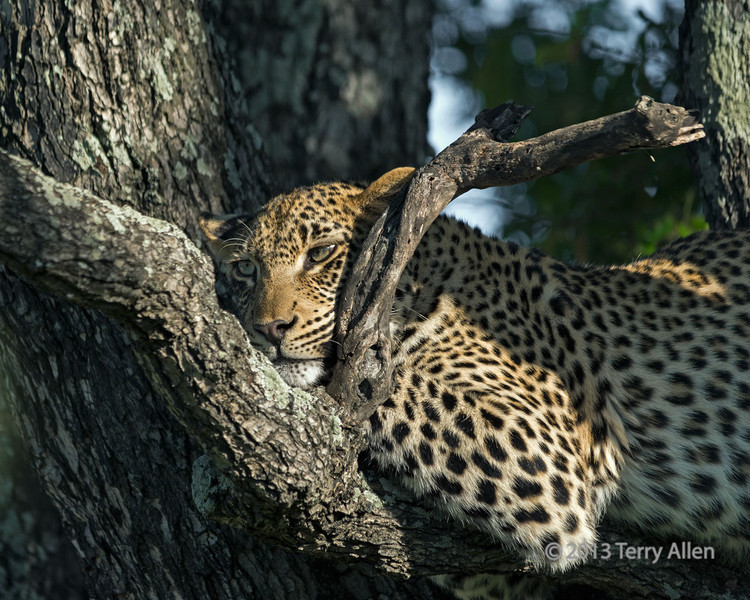 Leopard in a nice comfy perch, Ngala, South Africa