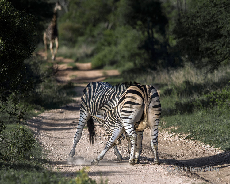 Battling zebras-7, Ngala, South Africa