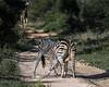 Battling zebras-7, Ngala, South Africa