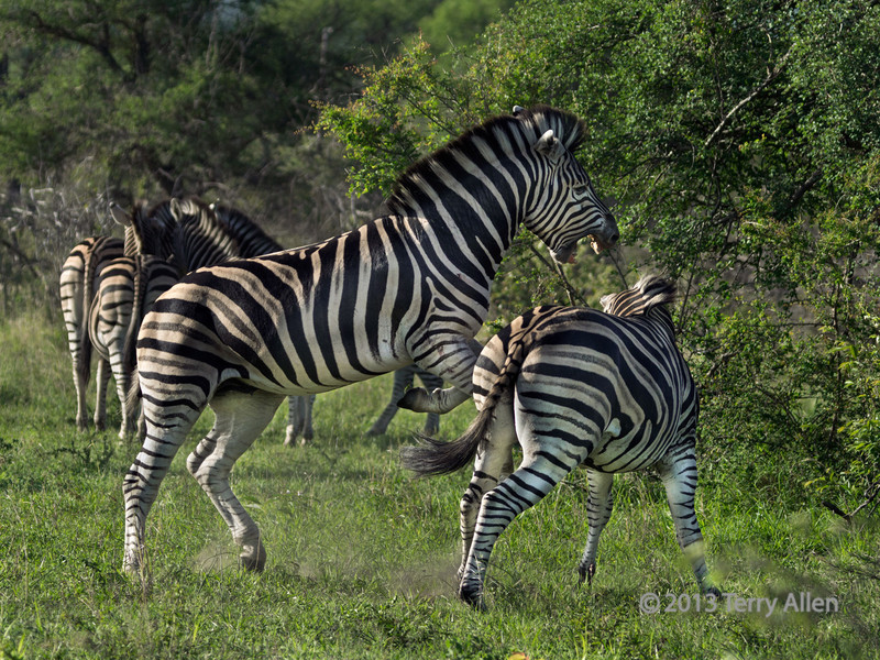 Battling zebras-with the harem in the background, Ngala South Africa