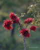 Red flowering bush, Ngala, South Africa<br /> <br /> Possibly Greyia Sutherlandii