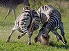 Zebras-fighting-2, Ngala, South Africa<br /> <br /> These zebra were engaged in some serious fighting, including kicks to the head and biting hard enough to draw blood.  Dominance fight to control a harem, I think.