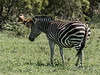 Pregnant zebra mare with beautiful dark markings, Ngala, South Africa