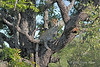 Yearling leopard in a Mopane tree, keeping watch over his mother's impala carcass