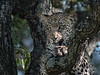 Portrait of a leopard cub in a Mopane tree, Ngala, South Africa