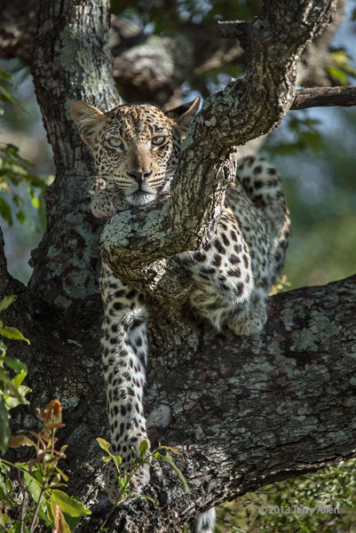 Portrait of a leopard in a Mopane tree-2, Ngala, South Africa<br /> <br /> Portrait-2 and portrait-1 are very similar.  Couldn't decide which of the two I preferred, so I posted them both.  Any thoughts?
