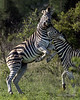 Battling zebras