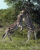 Zebra going for the jugular-2, Ngala, South Africa
