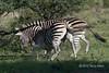 Battling zebras-10, Ngala South Africa