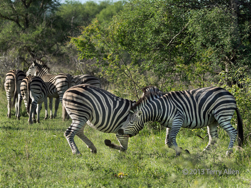 Zebra stallion biting the foreleg of his rival, Ngala South Africa<br /> <br /> The female zebras that this dominance battle was over are standing with their backs to the fight, apparently ignoring the stupidity of the stallions.