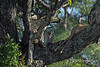 Leopard and impala carcass in a Mopane tree, Ngala, South Africa<br /> <br /> Best seen at larger sizes.