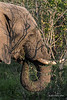 Elephant feeding in the bush, Ngala, South Africa<br /> <br /> My eye was caught by the shadows of the branches on the 'palette' of the elephant.