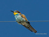 European bee-eater sitting on a wire, Ngala, South Africa<br /> <br /> The European bee-eater breeds in southern Europe and winters in Africa.