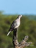 Cape turtle dove, Ngala, South Africa