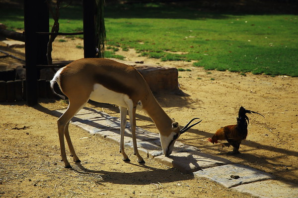 Springbok and Rooster