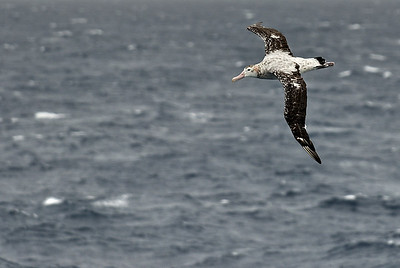 Wandering Albatross, largest of the world's seabirds has a 4 meter wing span.