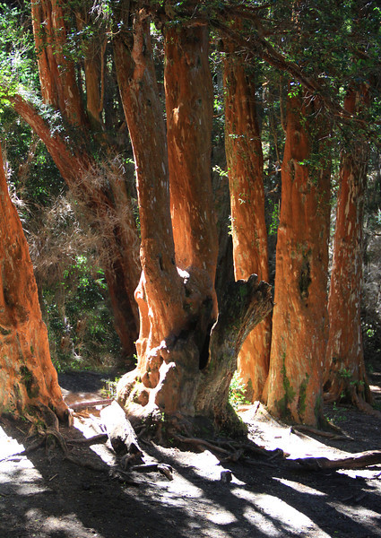 Arrayanes (Southern Beech) Forest Park, Bariloche