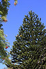 Araucaria (Monkey Puzzle Tree)
