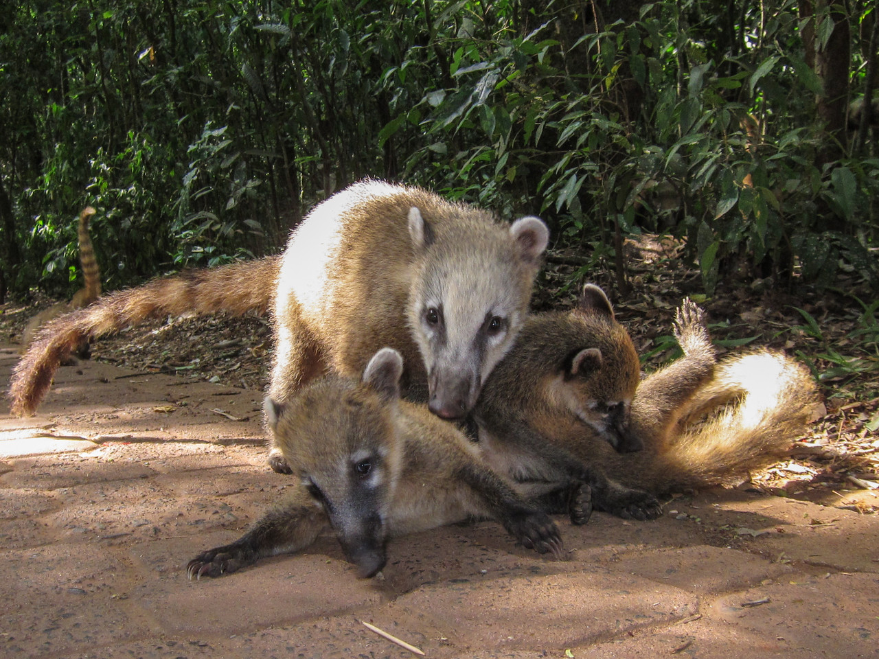 Coatis greet you as you enter the park in Argentina.