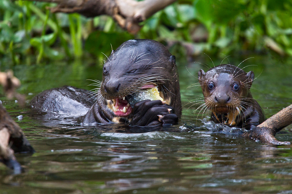 A giant otter (Pteronura brasiliensis) and her pup, taken in the Pantenal, Brazil. These are the largest River Otters in the world.