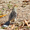 The Guira Cuckoo (Guira guira) is a social, non-parasitic cuckoo found widely in open and semi-open habitats of eastern and southern Brazil, Uruguay, Paraguay, Bolivia, and north-eastern Argentina. It is monotypic within the genus Guira, and is related to the anis.