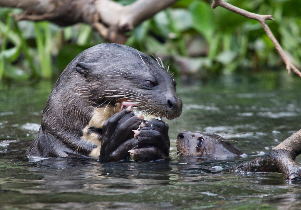 A giant otter (Pteronura brasiliensis) and her pup, taken in the Pantenal, Brazil. These are the largest River Otters in the world