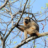 Howler monkeys (genus Alouatta monotypic in subfamily Alouattinae) are among the largest of the New World monkeys. Fifteen species are currently recognised. Previously classified in the family Cebidae, they are now placed in the family Atelidae. These monkeys are native to South and Central American forests. Threats to howler monkeys include human predation, habitat destruction and being captured for captivity as pets or zoo animals.