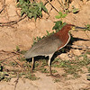 The Rufescent Tiger Heron (Tigrisoma lineatum), also known as the Soco-Boi, is a species of heron in the Ardeidae family.