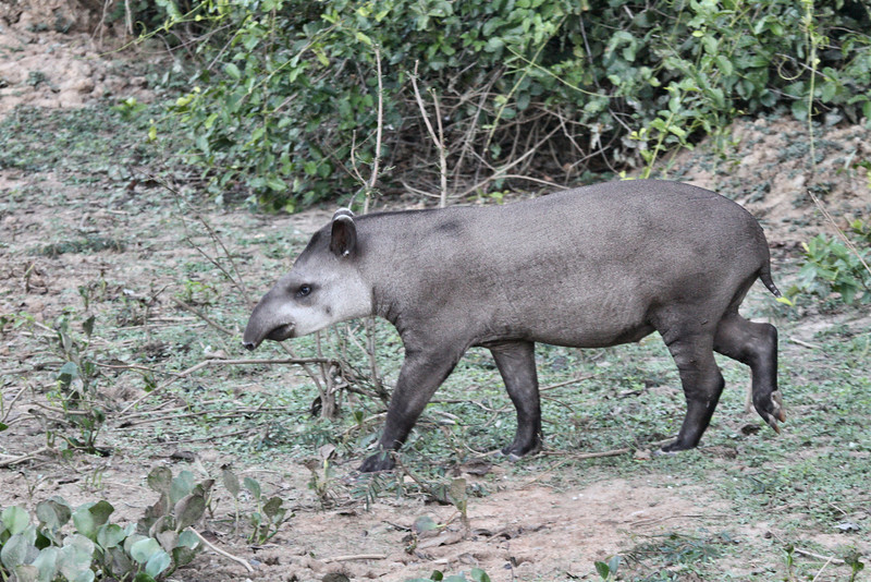 A Tapir (/ tay-pər or /təˈpɪər/ tə-peer) is a large browsing mammal, similar in shape to a pig, with a short, prehensile snout. Tapirs inhabit jungle and forest regions of South America, Central America, and Southeast Asia. There are four species of Tapirs: the Brazilian Tapir, the Malayan Tapir, Baird's Tapir and the Mountain Tapir. All four species of tapir are classified as endangered or vulnerable. Their closest relatives are the other odd-toed ungulates, including horses and rhinoceroses.