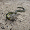 Snake biting a frog in Cabo Polonio
