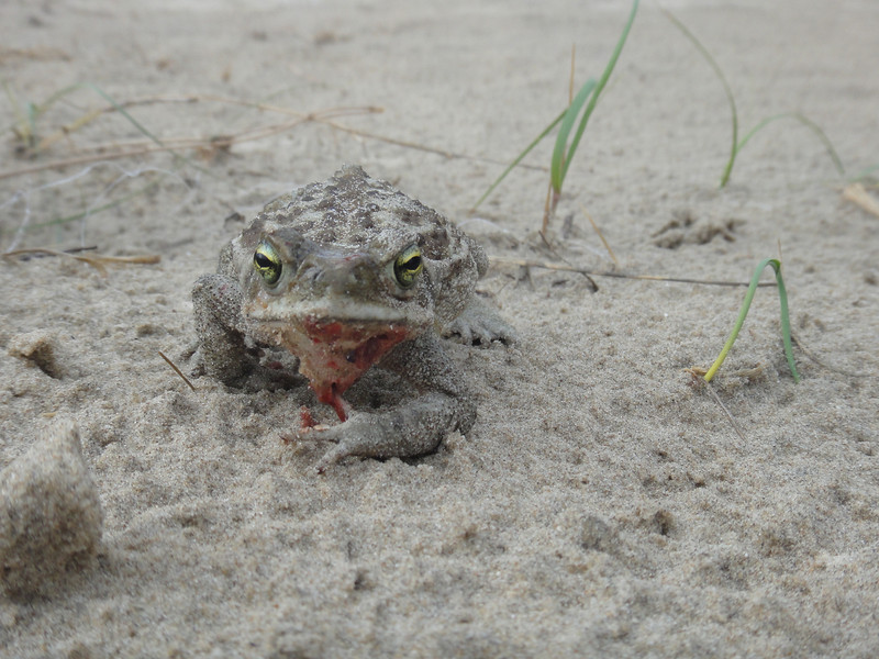 Snake Damage for a Frog in Cabo Polonio