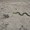 Snake after a Frog in Cabo Polonio