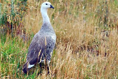 Upland goose photographed in Terra del Fuego