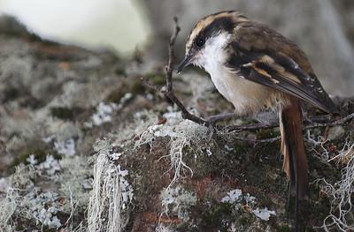 Ush-bird