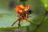 Wasp on a Lantana