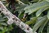 Many-banded aracari (Pteroglossus pluricinctus)