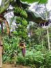 Banana fruit and flower