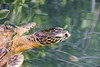 Green sea turtle (Chelonia mydas),